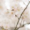 桜を巡る旅
