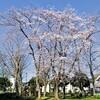小規模公園の桜~つくば市とその周辺の風景写真案内(20)