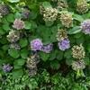紫陽花の現状