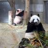 シャンシャンタイフーン!空前絶後の冬の上野パンダ祭りが始まろうとしているのか!!
