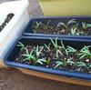 空心菜の芽が出ました。