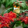 亜熱帯のオレンジ色 - ツマベニチョウ -