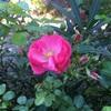 アンジェラがキレイに咲いておりました