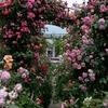 神戸)六甲アイランドバラ園「RICローズ・ガーデン」、見頃。