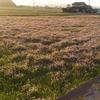 冬期湛水を行わない今年の不耕起のやり方、方法