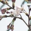 熊本地方気象台は1日ソメイヨシノの開花を発表