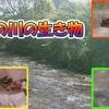【川の生き物】 サワガニなど、この川にいた生き物の動画 #1