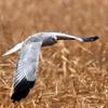 蘆原で狩りをする白い鷹ハイイロチュウヒ♂