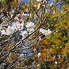 冬のお出かけに!冬桜ライトアップ!群馬