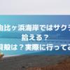 鎌倉・由比ヶ浜海岸ではサクラガイが拾える?他の貝殻は?実際に調査してみた