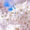 3月27日は「さくらの日」その3~さくらの語源は?(*´▽`*)~