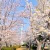 大角豆緑地のサクラ~つくば市とその周辺の風景写真案内(388)