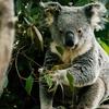 【半額!】ワイルドライフ・シドニー動物園の割引チケットを購入する方法