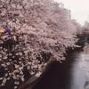 桜の木の下で野点したいな