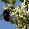 日本 ビックリグミの花とクマバチ