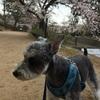 夙川公園へ桜を見に行きました