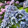 紫陽花を見に!第2段 京都・六孫王神社へ 2021.6.17の開花状況