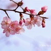 2月下旬~3月頭:河津桜の写真スポットin徳島