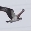 淀川河川敷の野鳥 Ⅳ