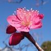 散歩~池上梅園・ことしも花がきれいだよ!