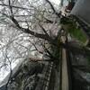 桜満開の二ヶ領用水をのんびり散歩しよう!発達障害を持つお子供さんが楽しむポイント