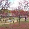 馬見丘陵公園の梅(おまけ:クロスモール富田林オープン)