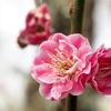 筑波山梅まつりに梅の花を撮りに行ってきました!!