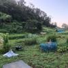 """畑からこんにちは! 0818 """"思い出した! ゴーヤの品種"""" #初心者でも出来る家庭菜園"""