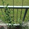 スナップエンドウのプランター栽培 栽培記録と収穫量