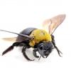 はっしぃのムシ図鑑「クマバチ」