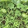 雨上がり、ぬかるんだ地面に苦戦しながらも刈り払い機で除草