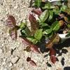 #3 ハツユキカズラ 茶色い葉