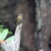 ルリビタキとは思えないルリビタキの幼鳥