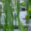 京都・祇園 - 祇園白川と紫陽花