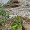 蜜柑の幼木を植え替えた