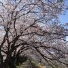 桜満開 in鳥取
