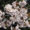 東京の桜、満開です