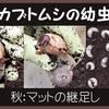 カブトムシの幼虫  秋:マットの継足し