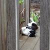今日の黒猫モモ&白黒猫ナナの動画ー713