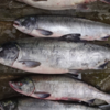 鮭の大きさと旨さの関係/   今日の紋別港偵察