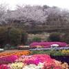 352松山桜満開