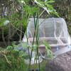 9/30 夏オクラ植えてみました。 50日目