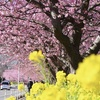 2021年の三浦海岸 河津桜