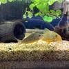 飼育している熱帯魚コリドラス・ステルバイの稚魚が産まれました~♪
