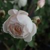 庭のバラがまだ咲いています