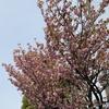 八重桜が咲いた