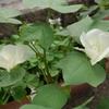 ワタの花(2)