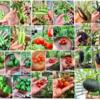 夏野菜の収穫量、最終結果報告! 〜家庭菜園1年目がタネから育てた軌跡〜