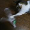 丸めたビニール袋でじゃれる猫