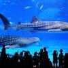 沖縄美ら海水族館でナイトアクアリウム!?美ら海水族館の㊙️お得情報を教えます!♪( ´θ`)ノ